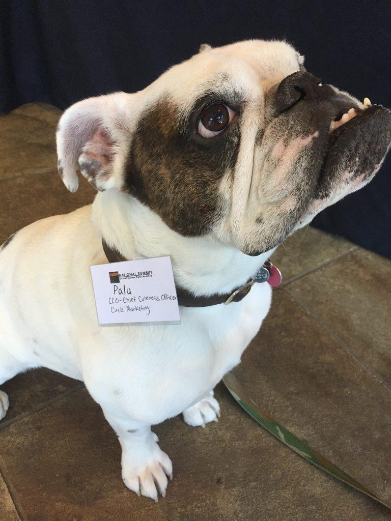 Palu the Bulldog - Chief Cuteness Officer